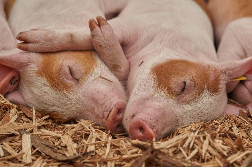 Смотреть онлайн бесплатно лучшее фото домашней свиньи