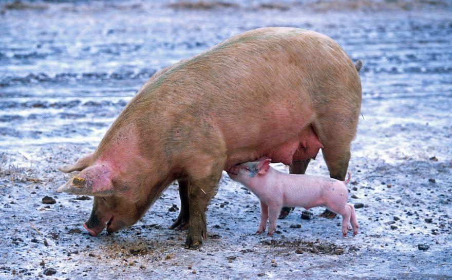 Смотреть лучшую картинку свиньи и ее разноцветных детенышей