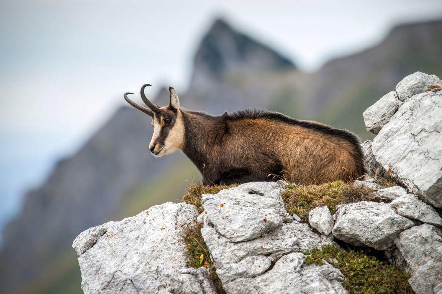 Смотреть бесплатно лучшую картинку серны в горах