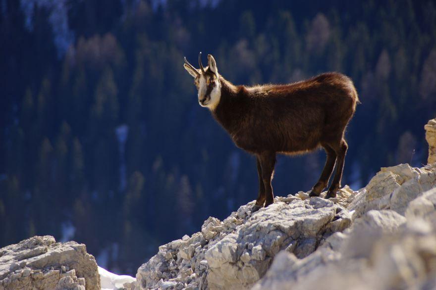 Скачать необычную картинку серна в дикой природе