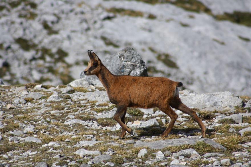 Скачать онлайн бесплатно лучшую картинку серны в горах