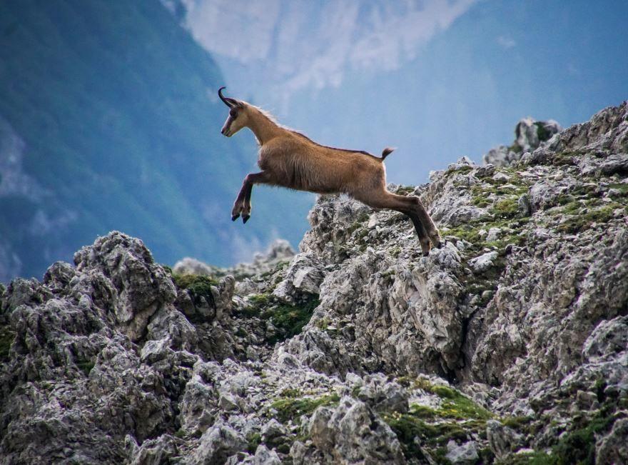 Смотреть бесплатно красивое фото серны в дикой природе