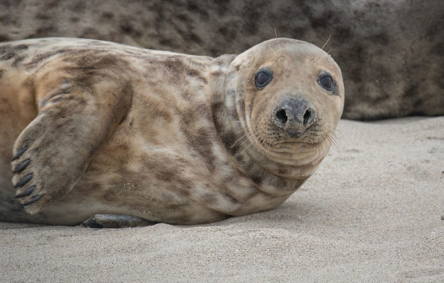 Смотреть красивую картинку тюлень на природе крупным планом