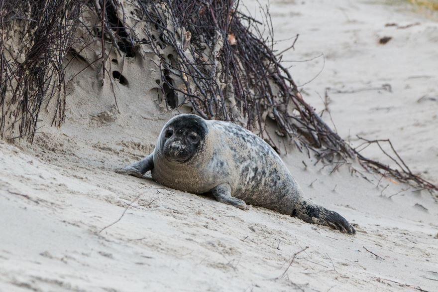 Смотреть лучшее фото тюленя на пляже