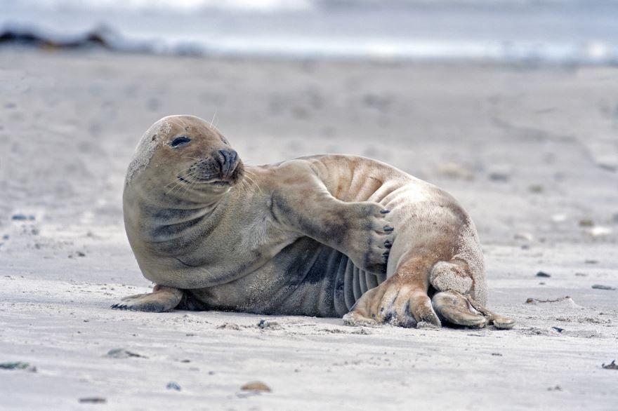 Смотреть бесплатно картинку тюлень позирует на берегу