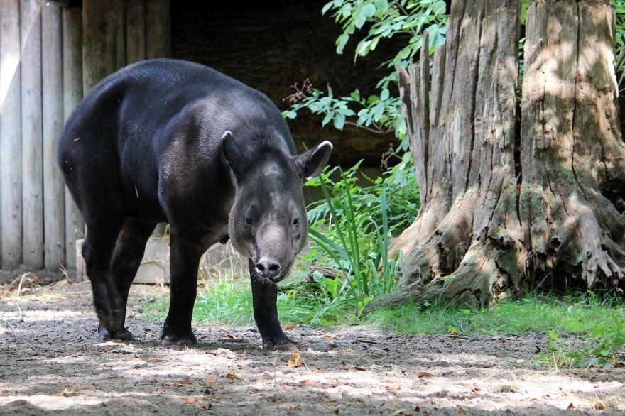 Смотреть бесплатно лучшую картинку животного тапир на природе