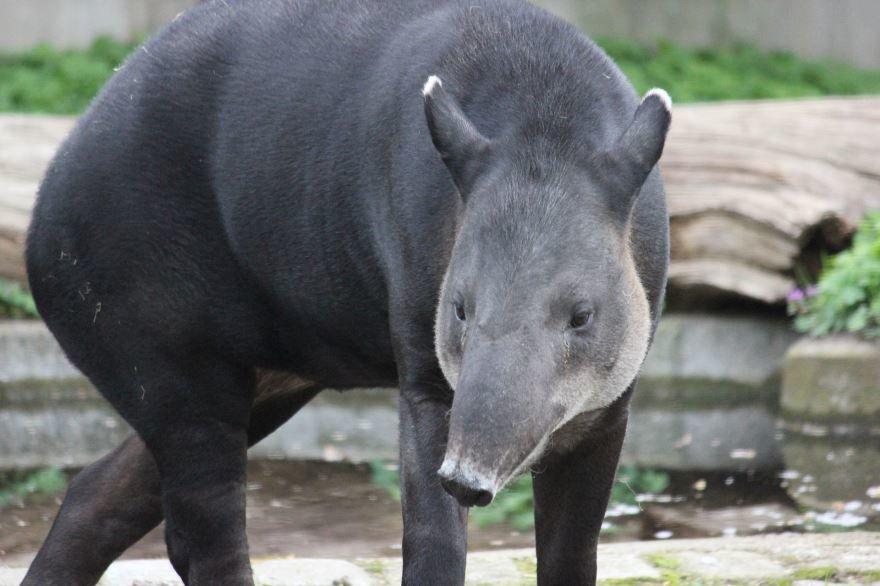 Смотреть бесплатно лучшее фото животное тапир купается
