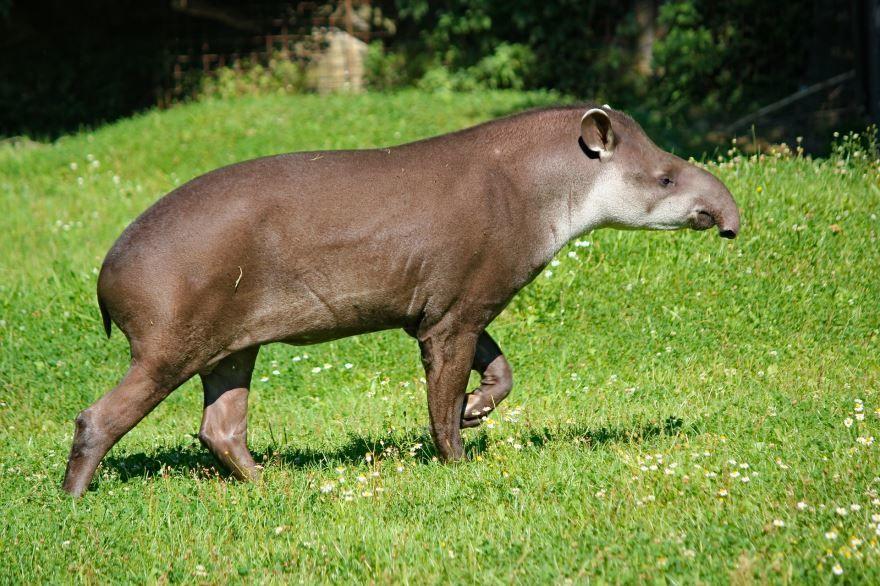 Смотреть интересное фото двух тапиров на природе