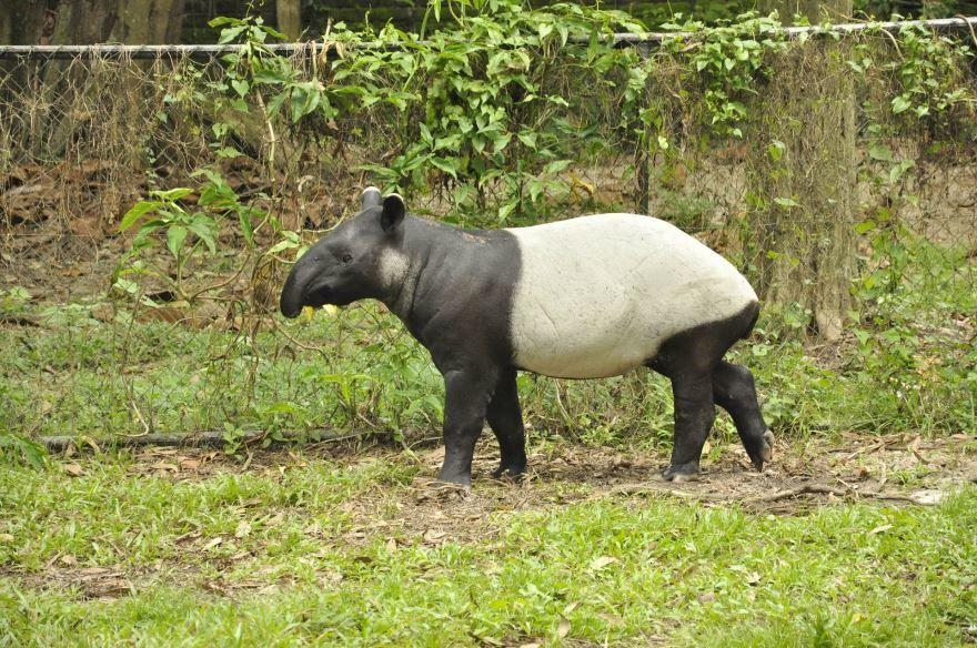 Скачать необычную картинку животного тапир в дикой природе