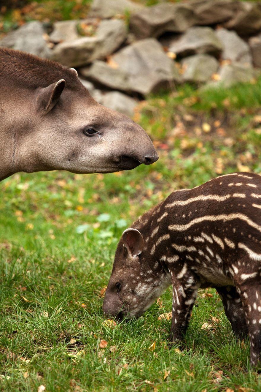 Смотреть онлайн бесплатно красивые картинки животного тапир на природе
