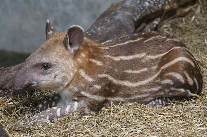 Смотреть интересную картинку животного тапир необыкновенной окраски