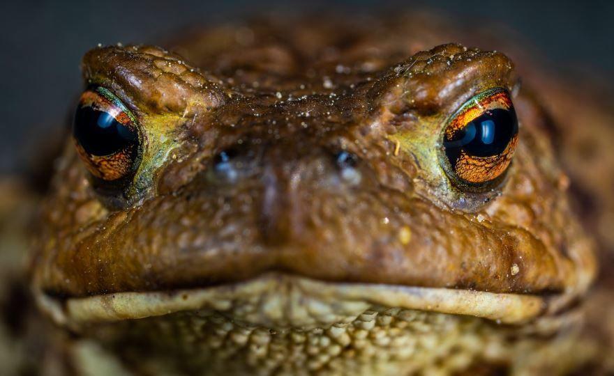 Фото большой жабы