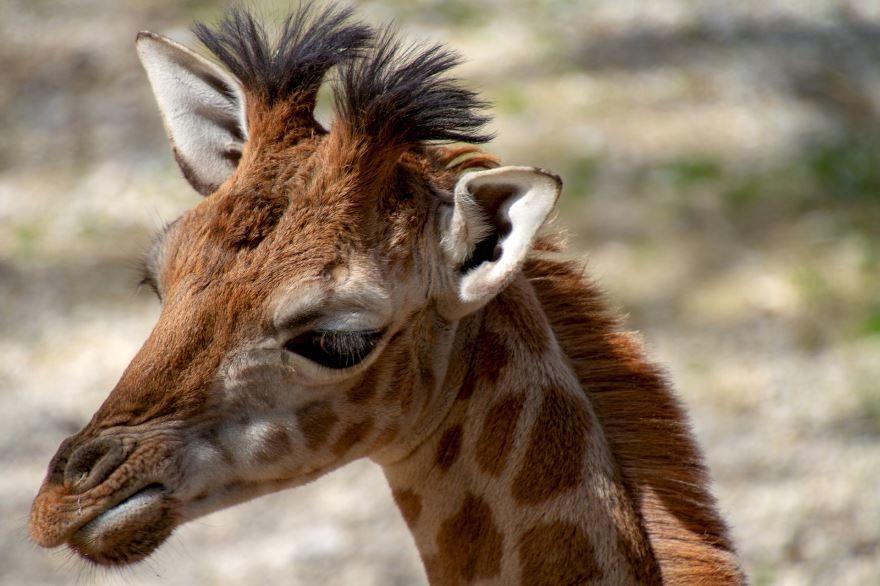 Скачать картинку жирафа