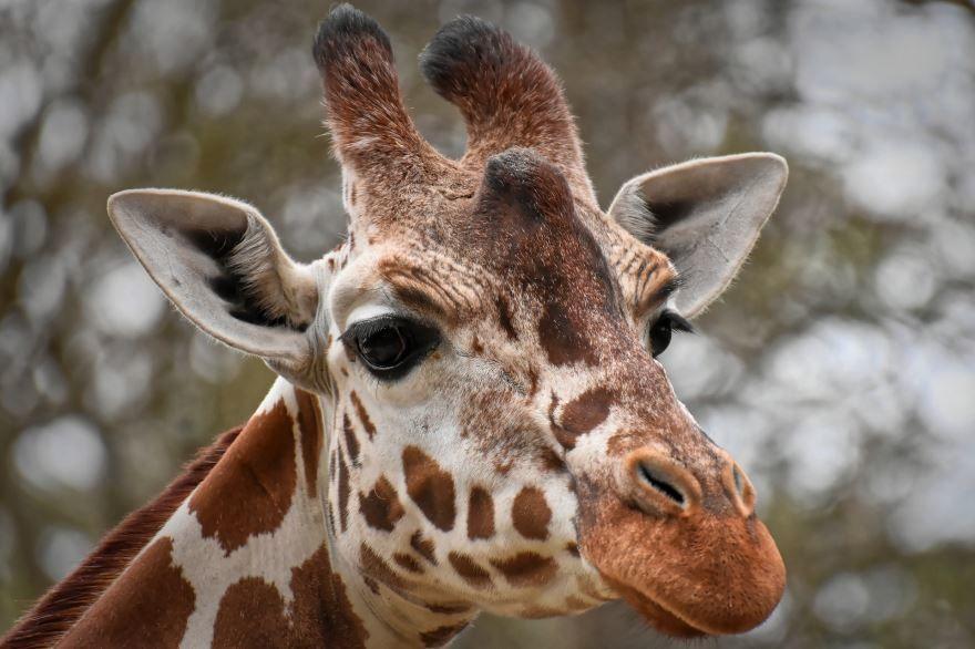 Скачать картинки жирафа для детей