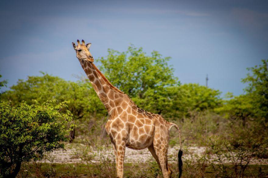 Фото пятен жирафа