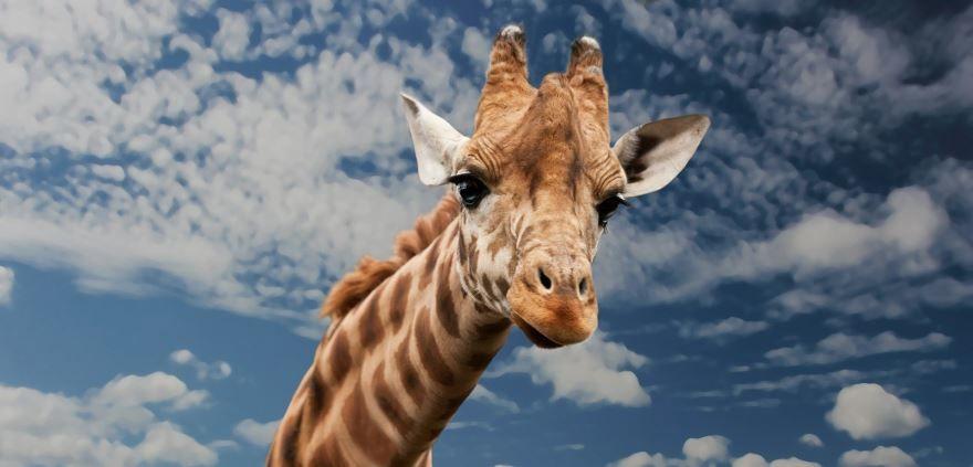 Купить фото жирафа? Не нужно, можно скачать бесплатно!