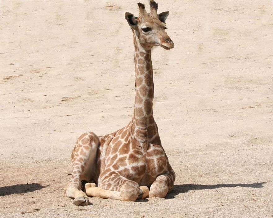 Картинки про жирафа