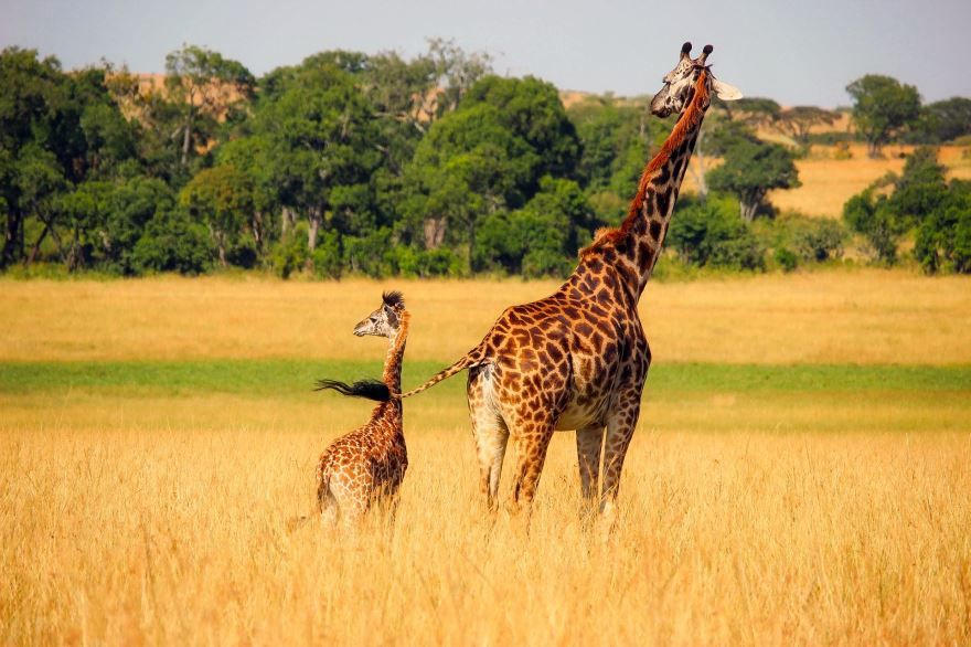 Бесплатные фото жирафа