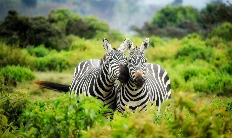 Скачать фото зебры для детей