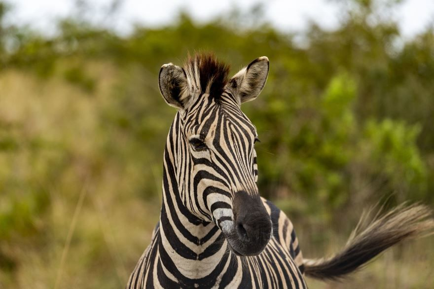 Купить фото зебры? Не нужно, можно скачать бесплатно!