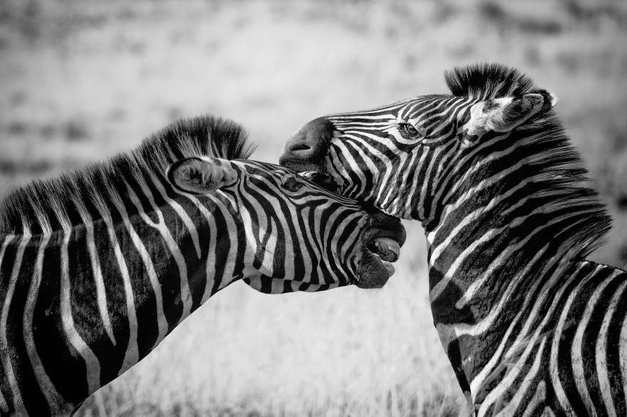Скачать фото зебры