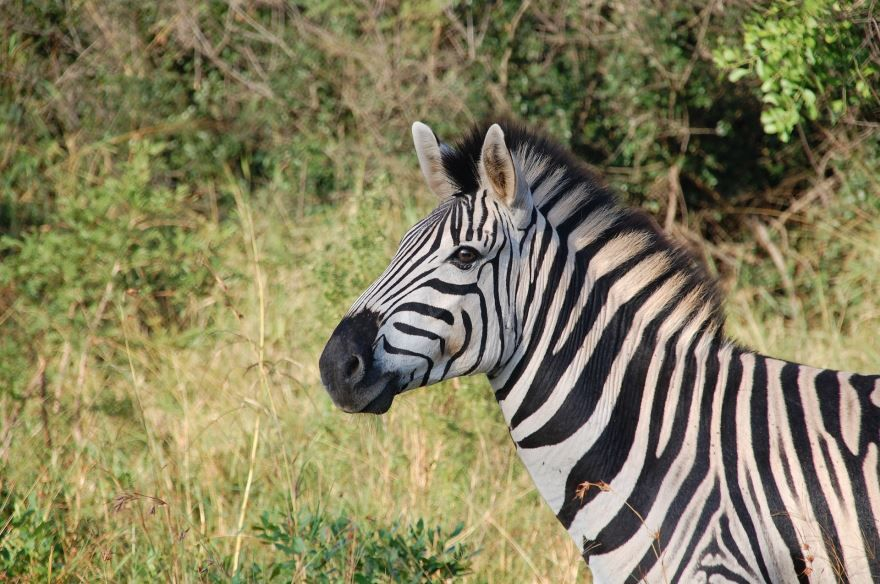 имеет несколько смешные картинки про зебру легче