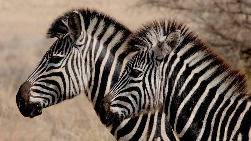 Бесплатные фото зебры