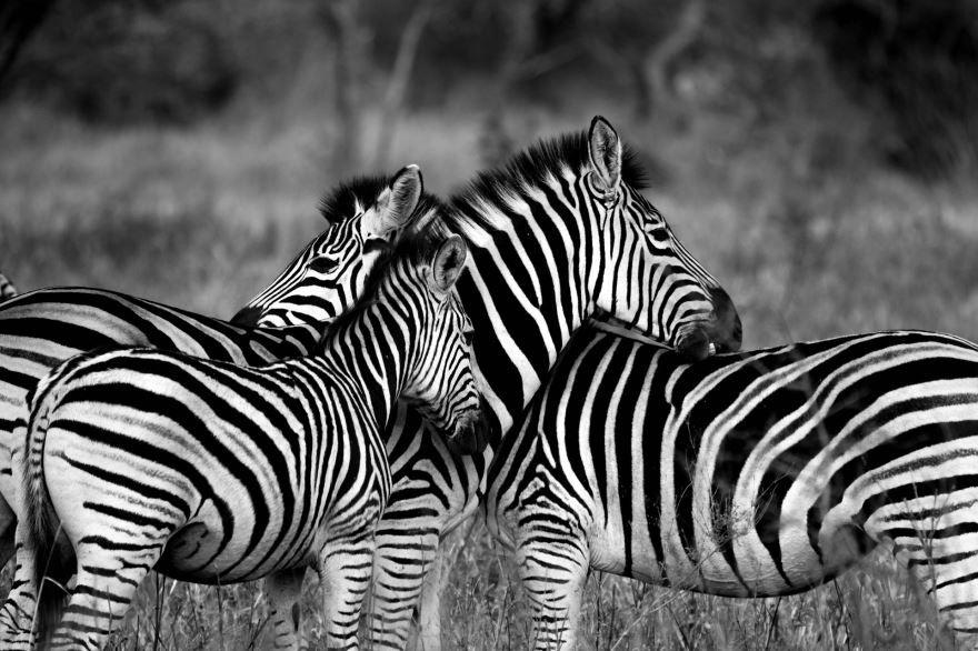 Фото с зеброй