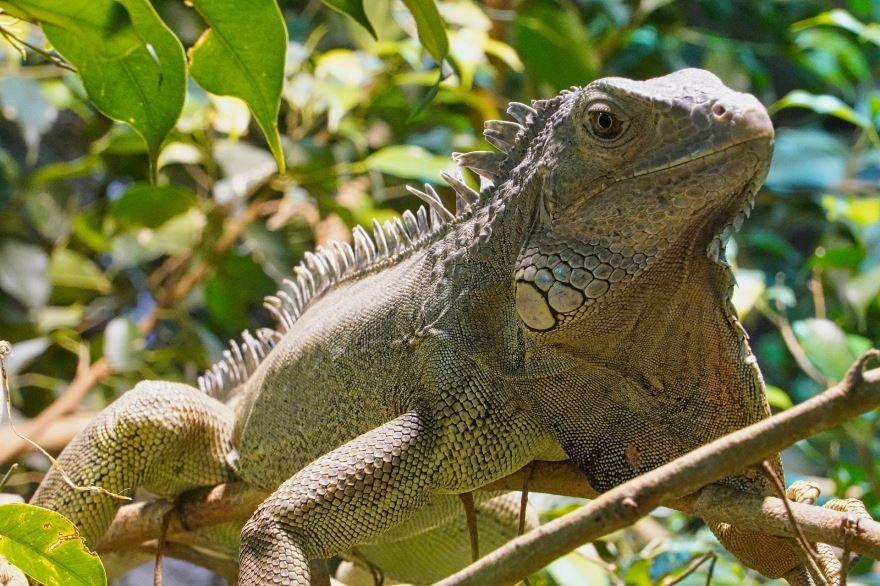 Фото зеленой игуаны бесплатно