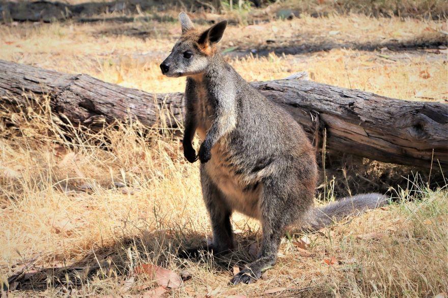 Скачать фото кенгуру