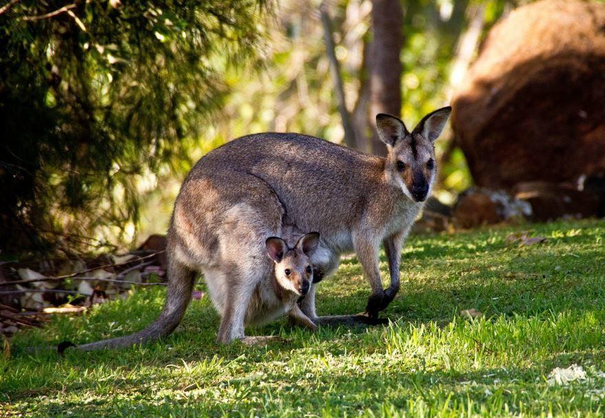 Фото кенгуру для детей