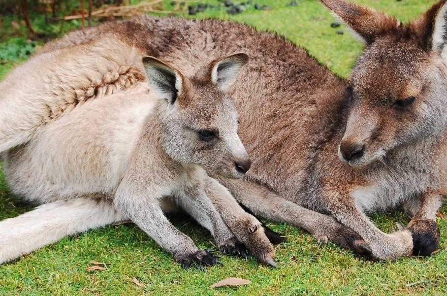 Лучшие фотографии и картинки кенгуру