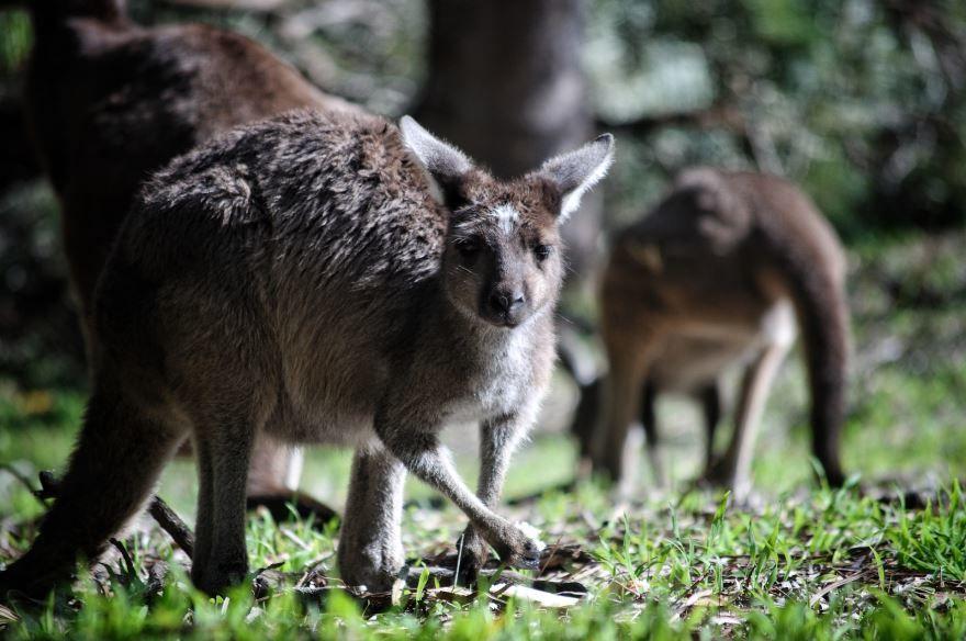 Фото кенгуру для ребенка