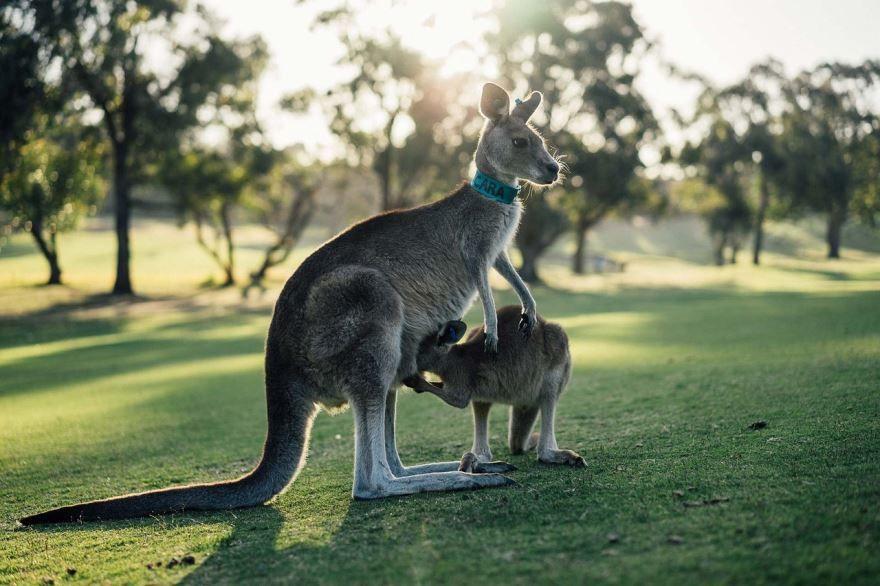 Смотреть картинки кенгуру
