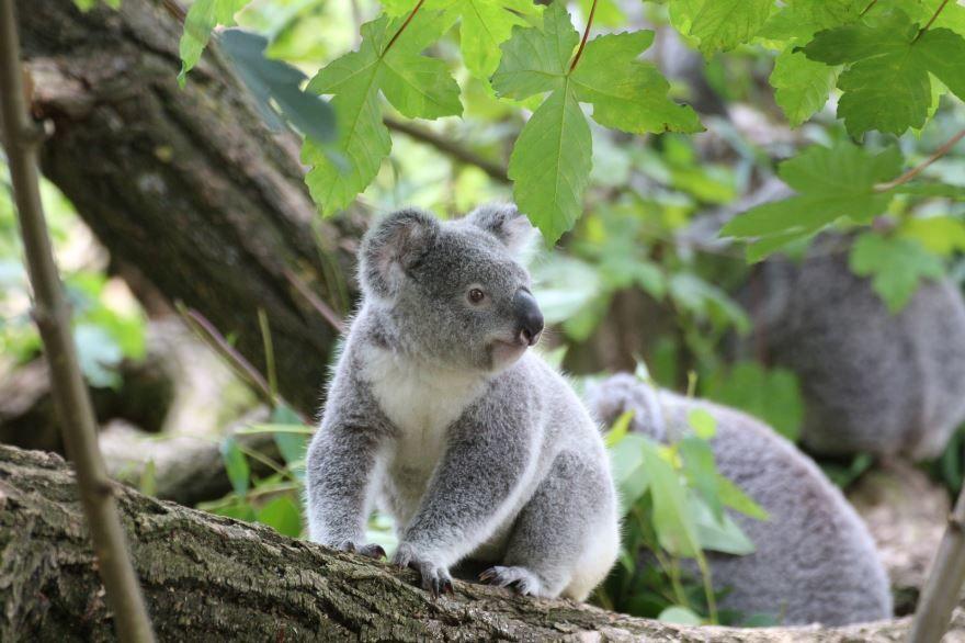Фото животного коалы, скачать