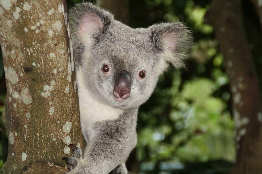 Бесплатные фото и картинки коалы для детей