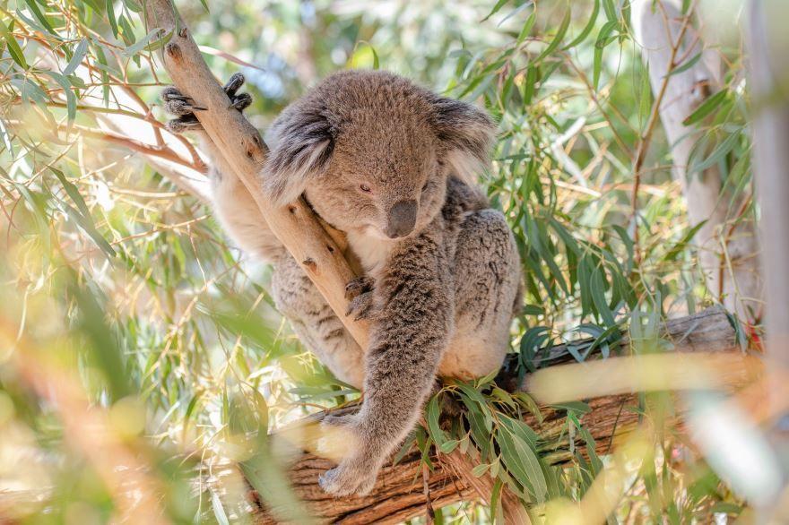 Скачать картинку коалы для детей