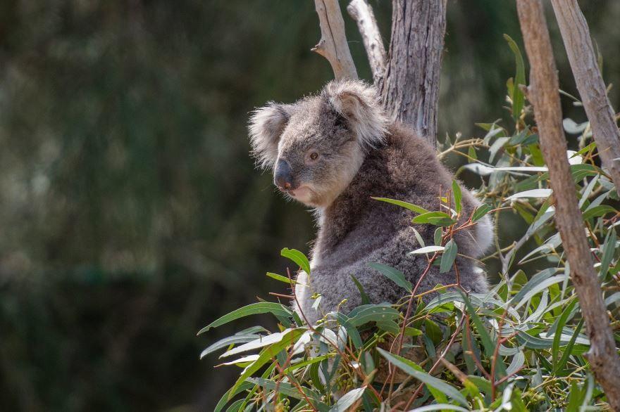 Смотреть фото животного – коалы