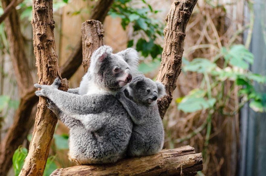 Смешные фотографии коалы