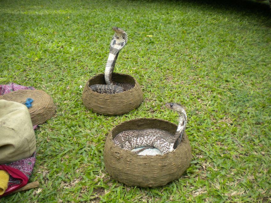 Красивые фото змеи кобры