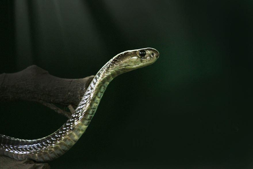 Бесплатные фото и картинки кобры в хорошем качестве онлайн