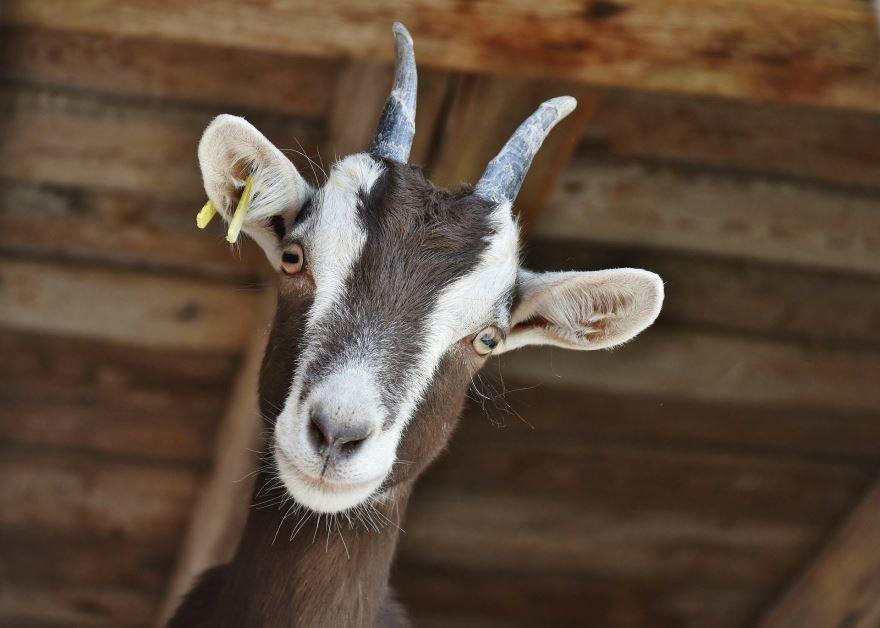 Скачать фото козла бесплатно