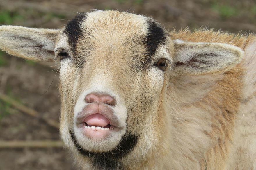 Онлайн просмотр фото козлов