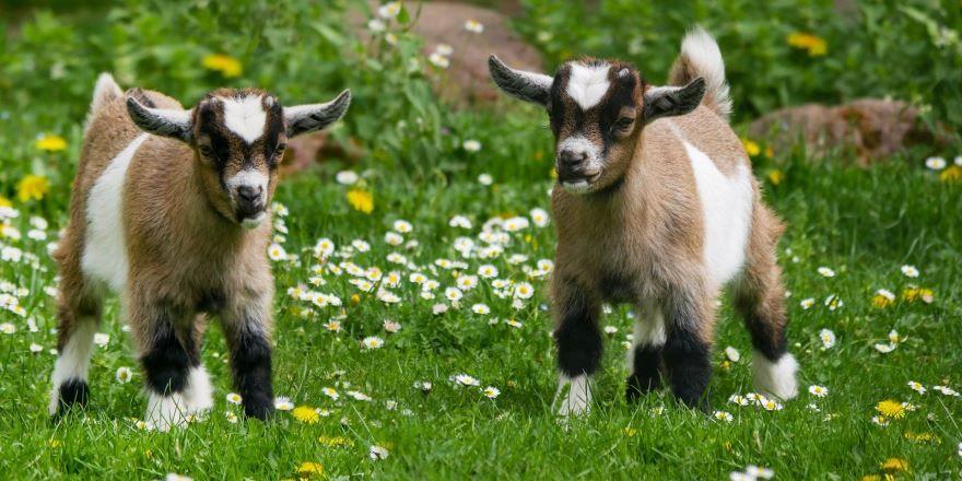 Скачать бесплатно фото козлов