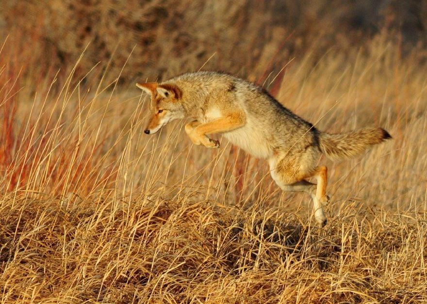 Смотреть фото койотов онлайн