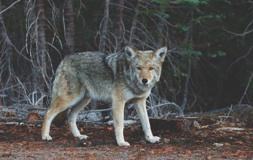 Фото койота в хорошем качестве