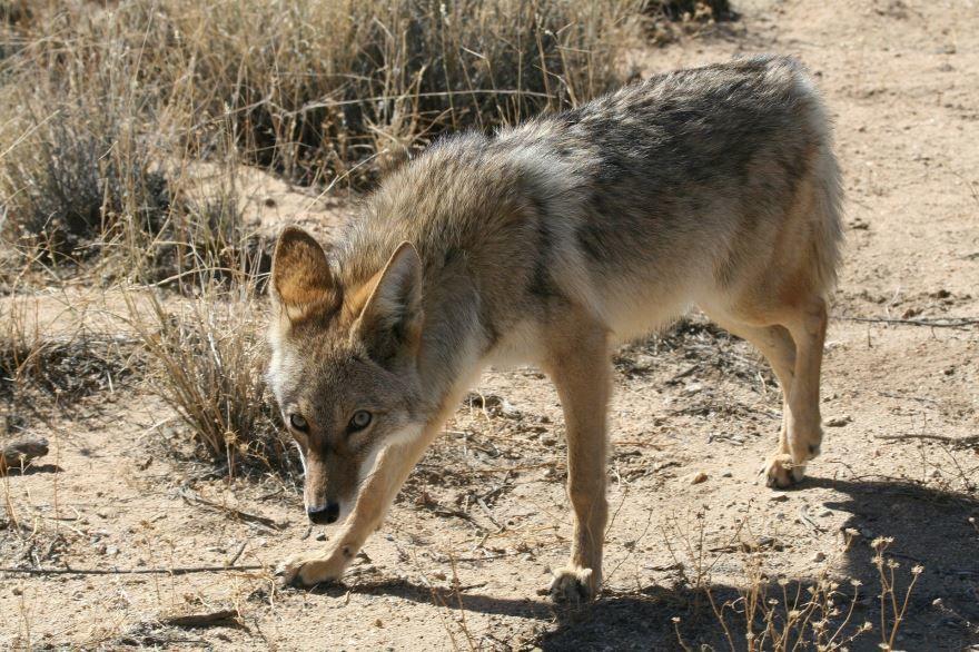 Смотреть лучшие фото животного койота