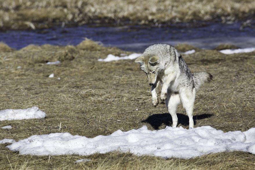 Фото гадкого койота