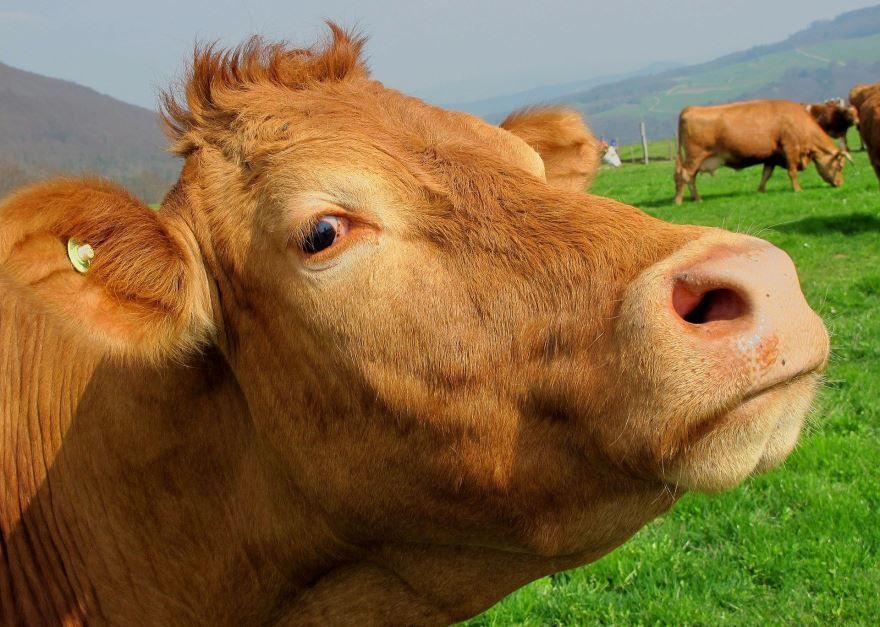 Лучшие картинки коровы