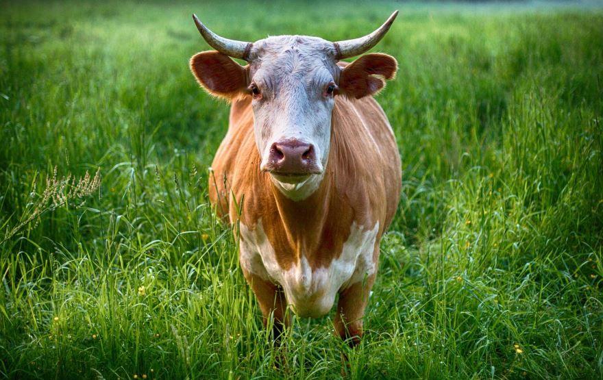 Скачать фото коровы